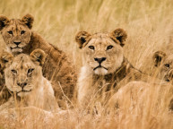 Safari bryllupsrejse